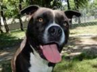 Adopt 8-Ball 5874 a American Staffordshire Terrier