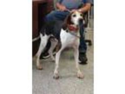 Adopt Ol'Gal a Black Treeing Walker Coonhound / Mixed dog in Pickens