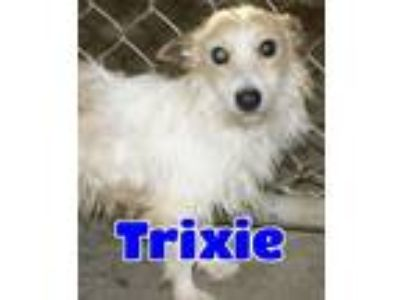 Adopt #160 Trixie a White - with Tan, Yellow or Fawn Pomeranian / Mixed dog in