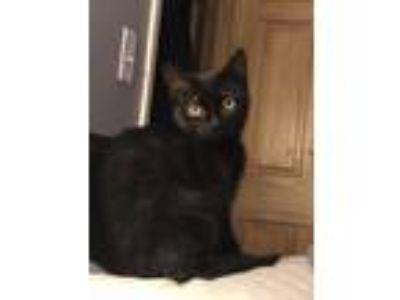 Adopt Belindas kitten#1 a Domestic Short Hair