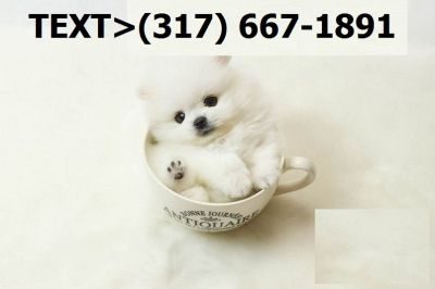 Pomeranian Puppies - For Sale Classifieds in San Diego