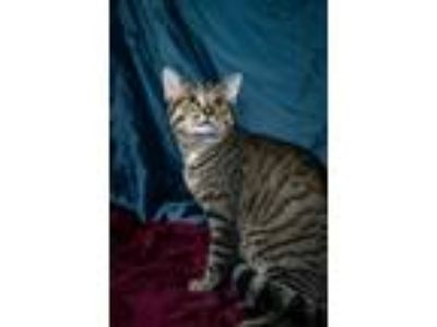 Adopt Chester a Tabby