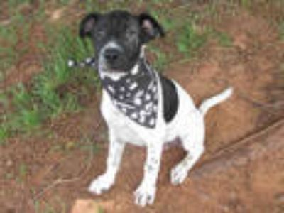 Adopt SID a Black - with White Border Collie / Mixed dog in Oklahoma City