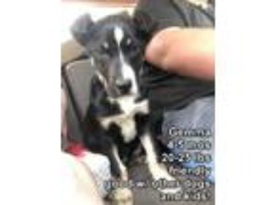 Adopt Gemma L a Border Collie / Mixed dog in Homer Glen, IL (25241153)