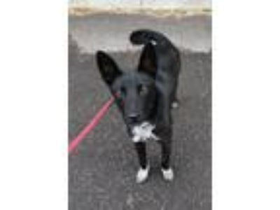 Adopt Jane a Border Collie