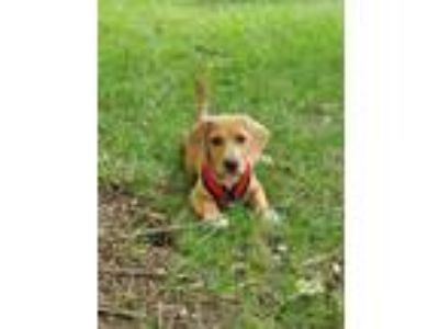 Adopt Franklin a Brown/Chocolate - with White Beagle dog in MCLEAN