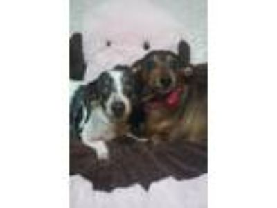 Adopt Molly and Hannah a Dachshund