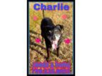 Adopt Charlie [phone removed] a Jack Russell Terrier, Labrador Retriever