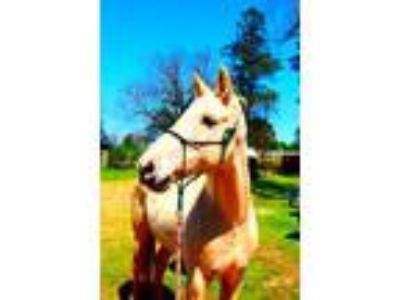 Adopt Sadie a Saddlebred