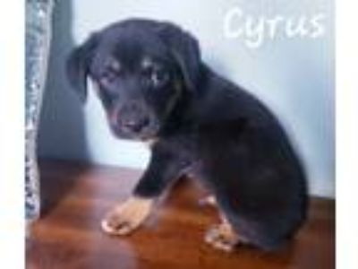 Adopt Cyrus a Miniature Pinscher, Black Mouth Cur