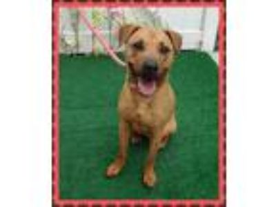 Adopt ROLLINS a Brown/Chocolate German Shepherd Dog / Mixed dog in Marietta