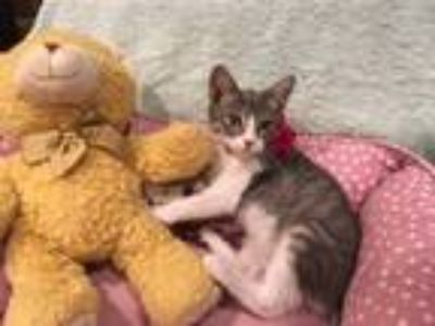 Adopt Yvonne a Gray, Blue or Silver Tabby Domestic Shorthair (short coat) cat in