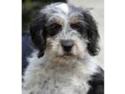 Adopt Cookie a Wirehaired Terrier, Beagle