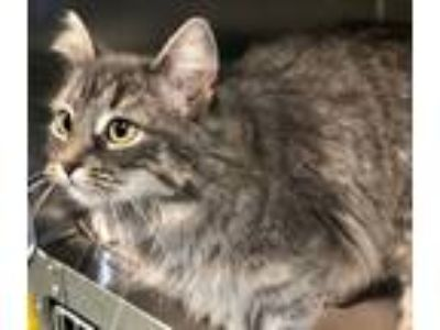 Adopt Prissy a Brown Tabby Domestic Mediumhair (medium coat) cat in Jackson