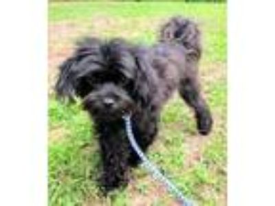 Adopt LoveBug a Shih Tzu / Poodle (Standard) / Mixed dog in Clinton
