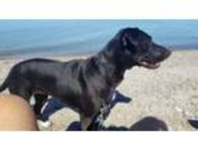 Adopt Willow a Labrador Retriever