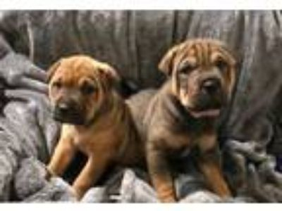 Adopt Star Trek litter **READ BIO a Shar-Pei, Shepherd
