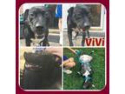Adopt VIVI a Labrador Retriever