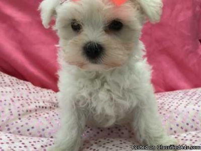 Gorgeous Maltese Girl FOR FREE TEXT OR CALL US AT 513-453