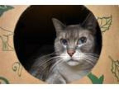 Adopt Bella a Domestic Shorthair / Mixed cat in Stratham, NH (25917677)