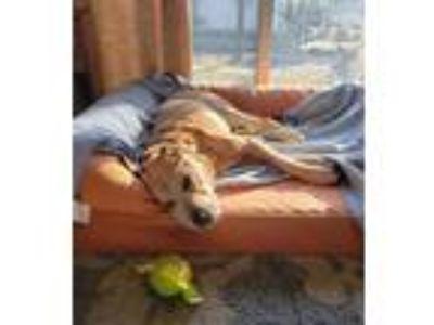 Adopt Munch a Labrador Retriever