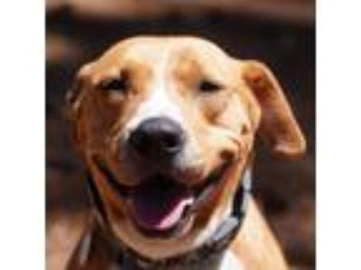 Adopt Brownie 1 a Pit Bull Terrier