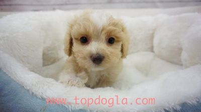 Morky Puppy- Male- Spain ($975)