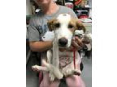 Adopt Peaches a Hound (Unknown Type) / Beagle / Mixed dog in Lawrenceville