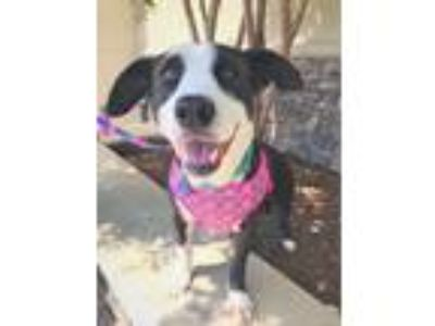Adopt Bella a Black - with White Border Collie dog in Youngsville, NC (24431286)