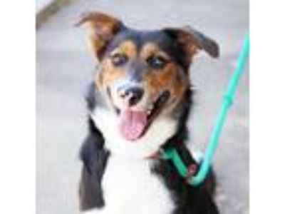 Adopt Patches a Black Border Collie / Mixed dog in Atlanta, GA (25412319)
