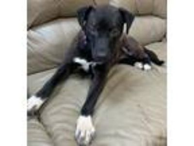 Adopt Chanel a Black - with White Pit Bull Terrier / Labrador Retriever / Mixed