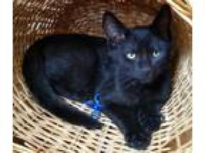 Adopt Diana a All Black Domestic Shorthair / Mixed (short coat) cat in