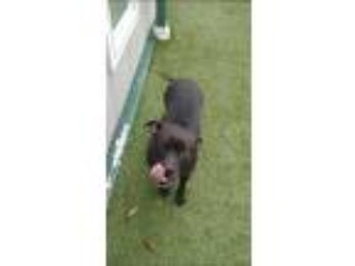 Adopt Velma a Black - with White American Pit Bull Terrier / Mixed dog in