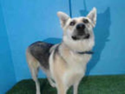 Adopt QUEENIE a Tan/Yellow/Fawn - with Black German Shepherd Dog / Husky / Mixed