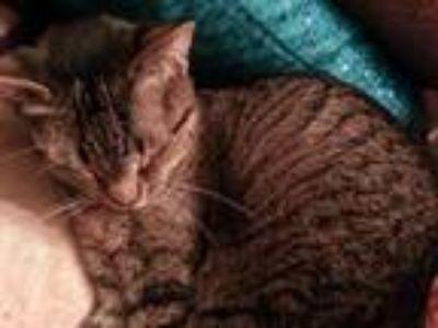 Adopt PEABO a American Shorthair, Domestic Short Hair