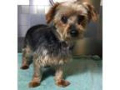 Adopt Thelma SDR in TX a Yorkshire Terrier