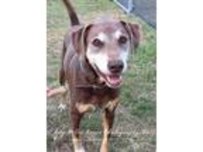 Adopt Pinto a Brown/Chocolate Labrador Retriever / Hound (Unknown Type) / Mixed