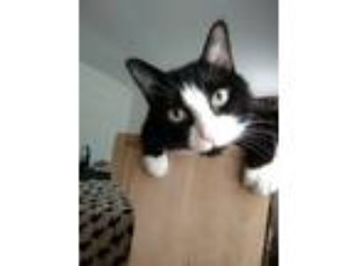 "Adopt Sylvester ""Sly"" a Black & White or Tuxedo Domestic Mediumhair cat in"