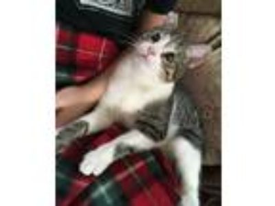 Adopt Seymour and Helen a Domestic Short Hair, Bengal