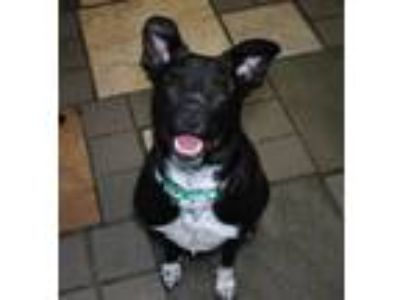 Adopt Sloan a Labrador Retriever, Cattle Dog