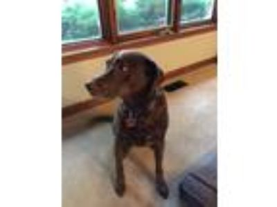 Adopt Murphy a Brown/Chocolate - with White Labrador Retriever / Mixed dog in