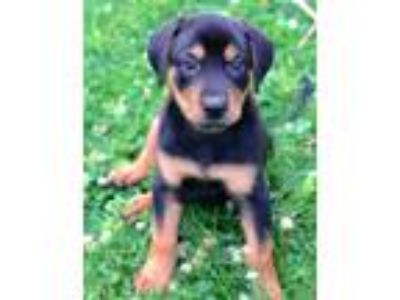 Adopt Jade a Black - with Tan, Yellow or Fawn Hound (Unknown Type) / Mixed dog