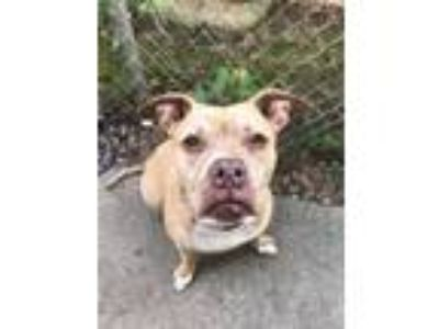 Adopt Carla! a American Staffordshire Terrier, Pit Bull Terrier