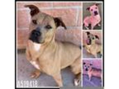 Adopt PENNY a Brown/Chocolate American Pit Bull Terrier / Mixed dog in San