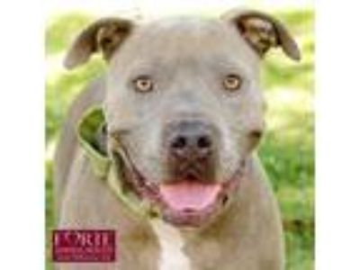 Adopt Valley a American Staffordshire Terrier