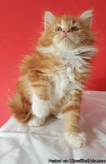Understanding male and female Maine coon kittens