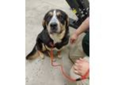 Adopt Marshall a Black Australian Cattle Dog / Rottweiler / Mixed dog in