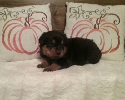 Rottweiler PUPPY FOR SALE ADN-53161 - Rottweiler puppies