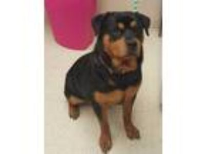 Adopt Saffy a Black Rottweiler / Mixed dog in Noblesville, IN (25356328)