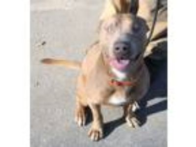 Adopt Finesse a Red/Golden/Orange/Chestnut - with White Shar Pei / American